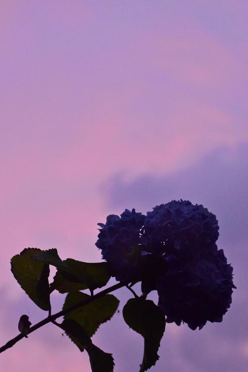 夕焼け紫陽花