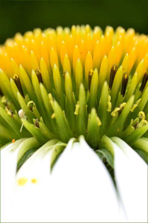 echinacea_14_7_5_5.jpg