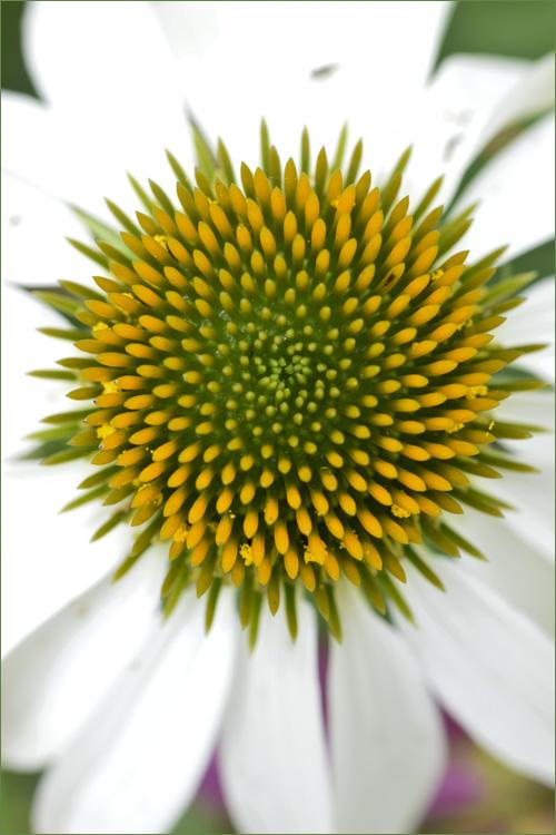 echinacea_14_7_5_6.jpg