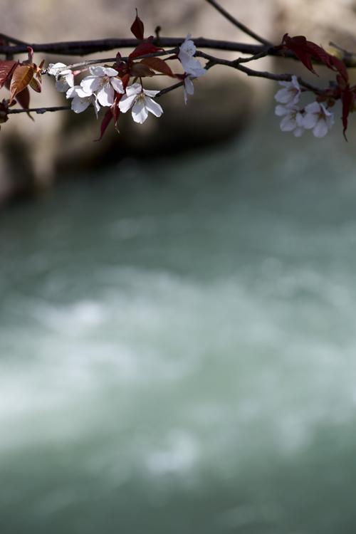 nishigamo_sakura_14_4_1_6.jpg