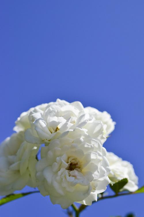 rose_14_9_27_1.jpg