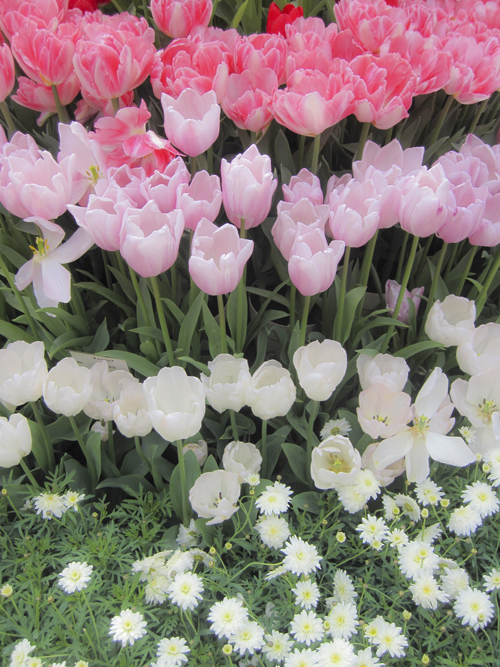 tulip_14_3_4_1.jpg