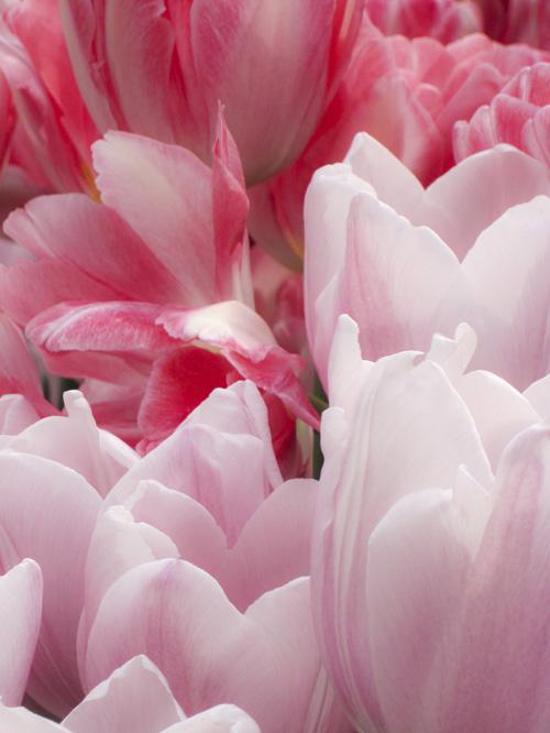 tulip_14_3_4_2.jpg