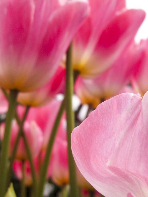 tulip_14_3_4_7.jpg