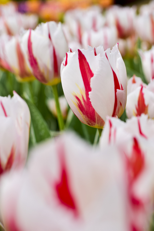 tulip_14_4_16_3.jpg