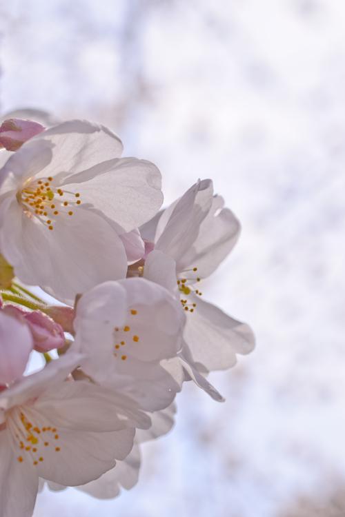 神光院の桜