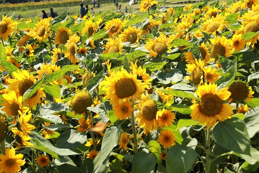 くじゅう花公園3 2014-9-28-11