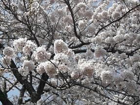 城山桜2014