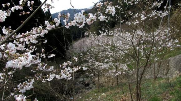 桜のある田舎風景 その3