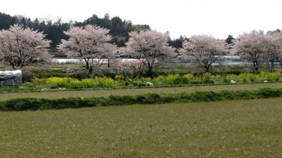 桜のある田舎風景 その5