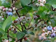 ブルーベリーの木 イメージ