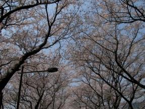 トンネル桜の天井