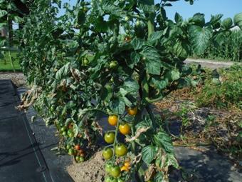 0-tomato.jpg