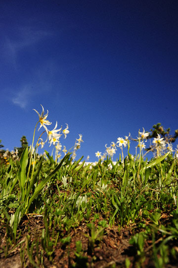 blog 102 Mt. Rainier, Avalanche Lily, WA_DSC9863-7.30.14.(2).jpg