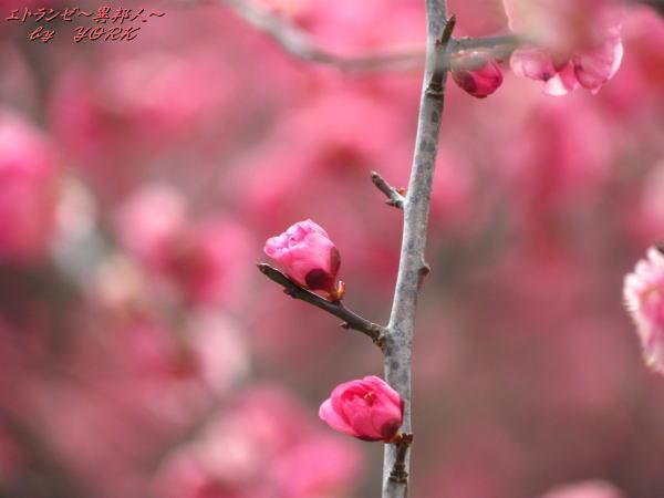 1238紅梅咲きかけ140215