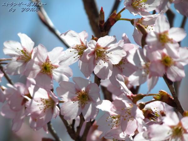 0546青空に早咲きの桜140322