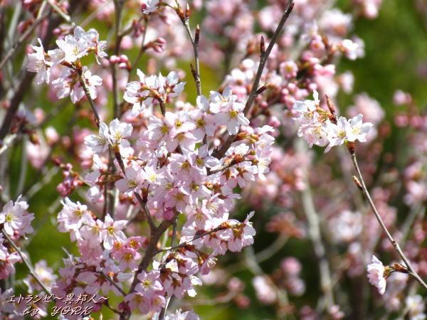 0555早咲きの桜140322