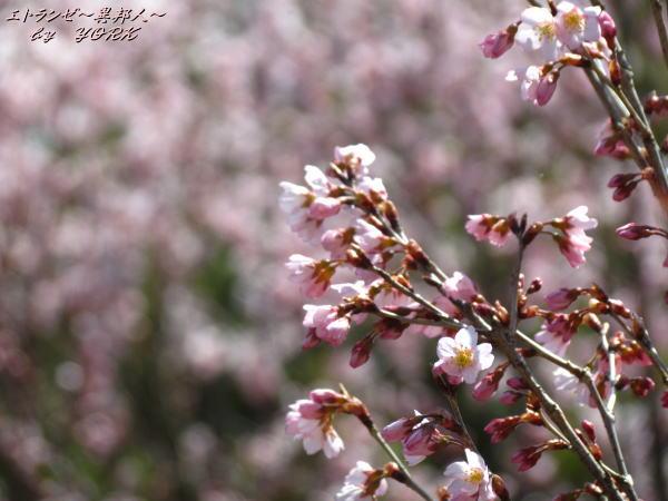 0543早咲きの桜一輪140322