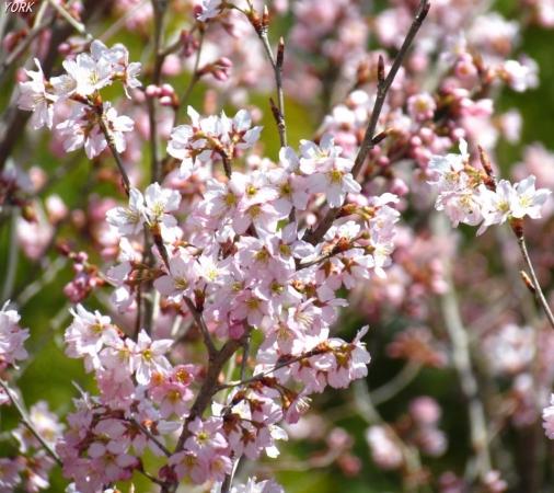 スマホ用 0555早咲きの桜960×854