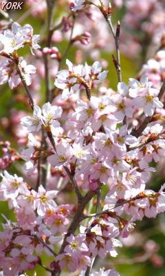 携帯用 0555早咲きの桜240×400