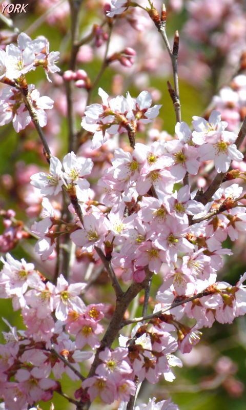 携帯用 0555早咲きの桜480×800
