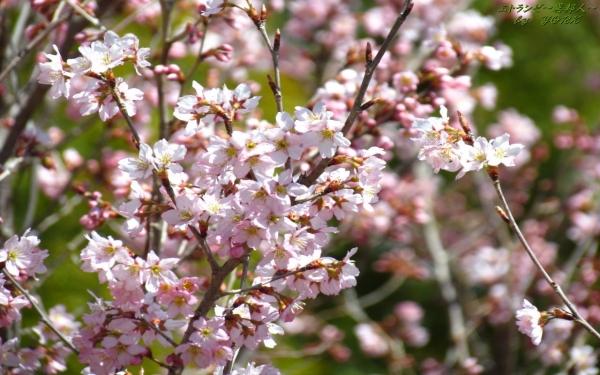 壁紙 0555早咲きの桜1280×800