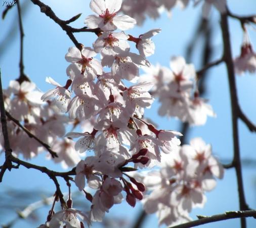 スマホ用 0626青空に枝垂れ桜960×854
