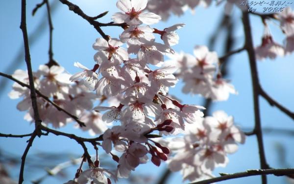 壁紙 0626青空に枝垂れ桜1280×800
