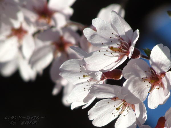 0730お向かいの枝垂れ桜アップ140330