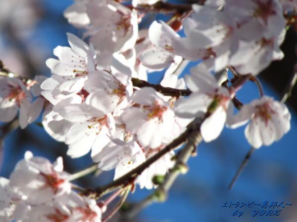 0716枝垂れ桜ソフトフォーカス140330