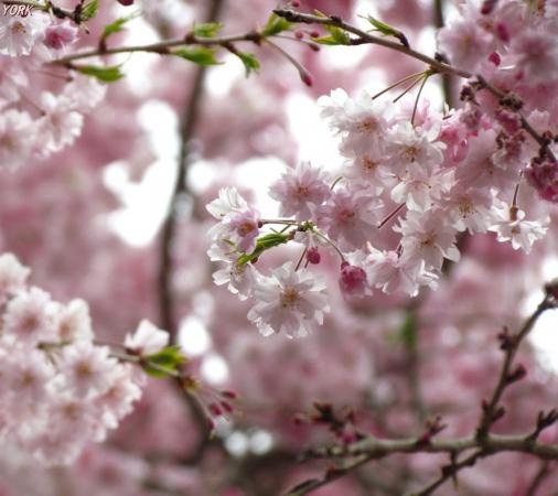 スマホ用 0789たけべの森枝垂れ桜960×854