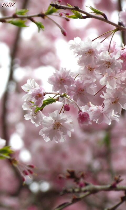 携帯用 0789たけべの森枝垂れ桜480×800