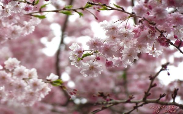 壁紙 0789たけべの森枝垂れ桜1280×800