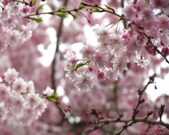 壁紙 0789たけべの森枝垂れ桜1280×1024