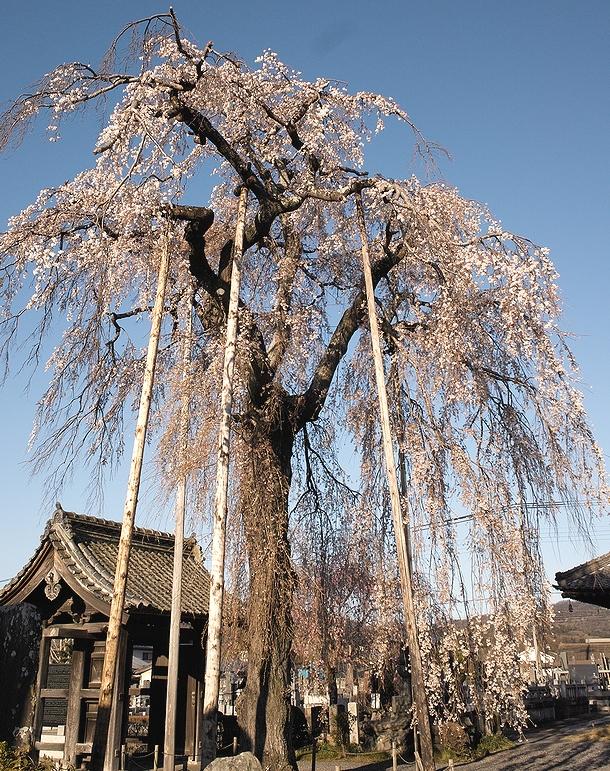 140405満願時桜2DP