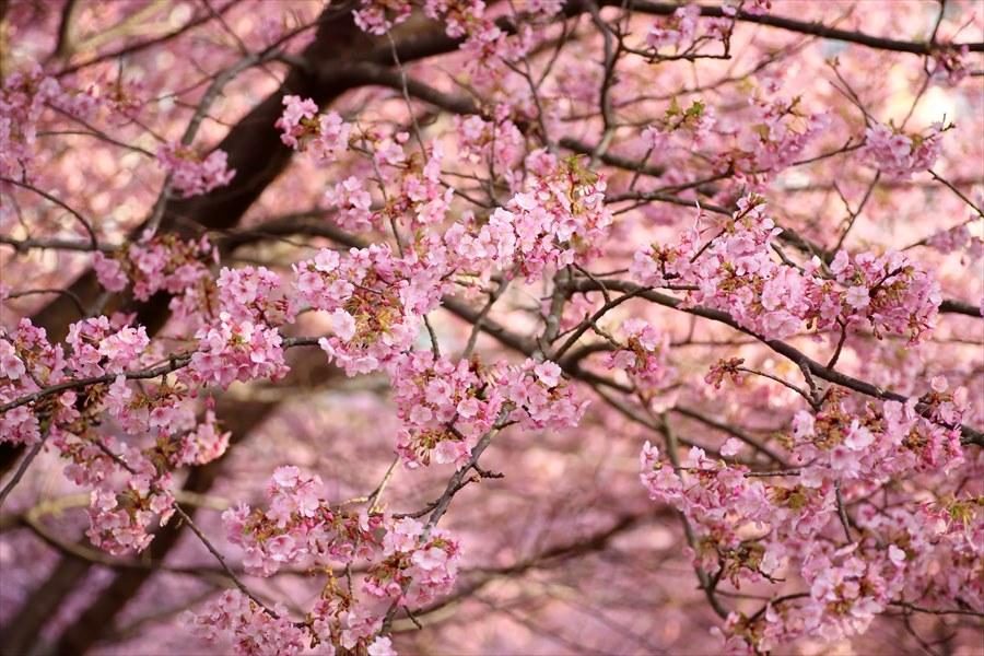 松田山昼間桜0801