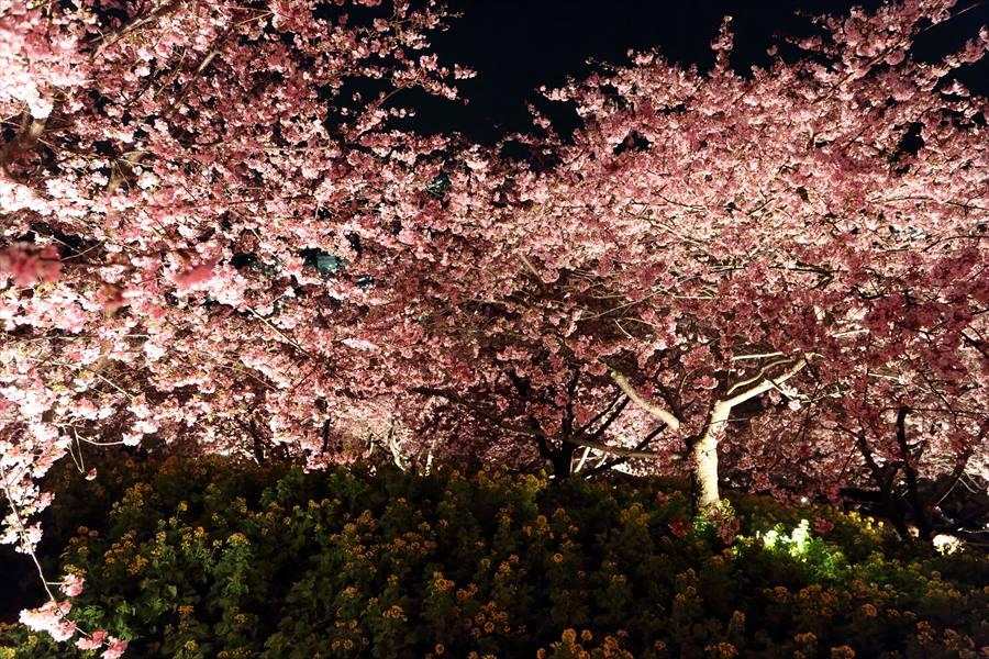 松田山夜桜0902