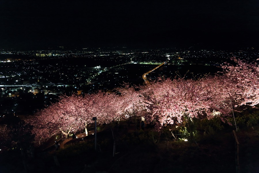 松田山夜桜0904