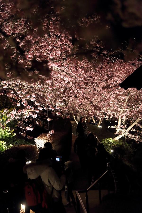 松田山夜桜1002