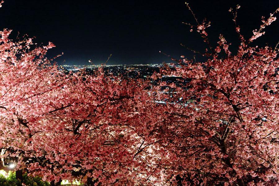 松田山夜桜1005