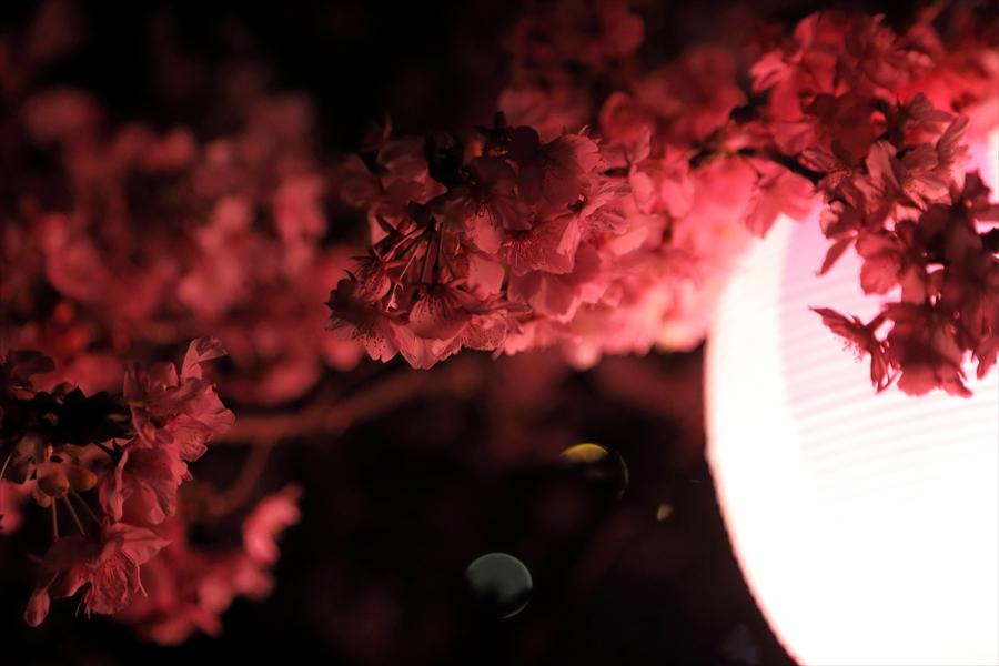 松田山夜桜1006