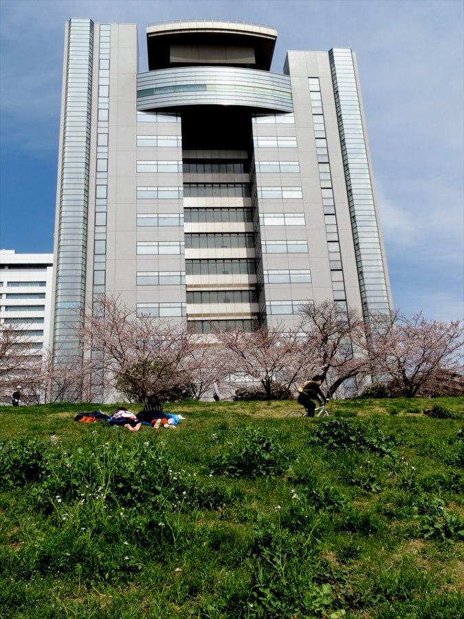 多摩川桜0101