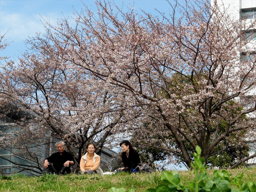 多摩川桜102
