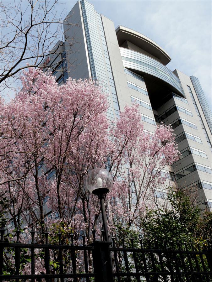 多摩川桜0103