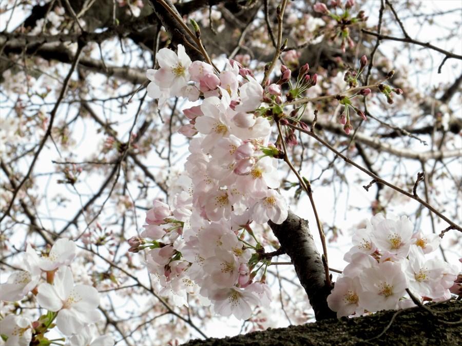 多摩川桜0106