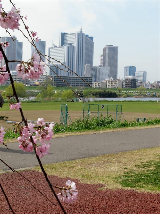 多摩川桜0202