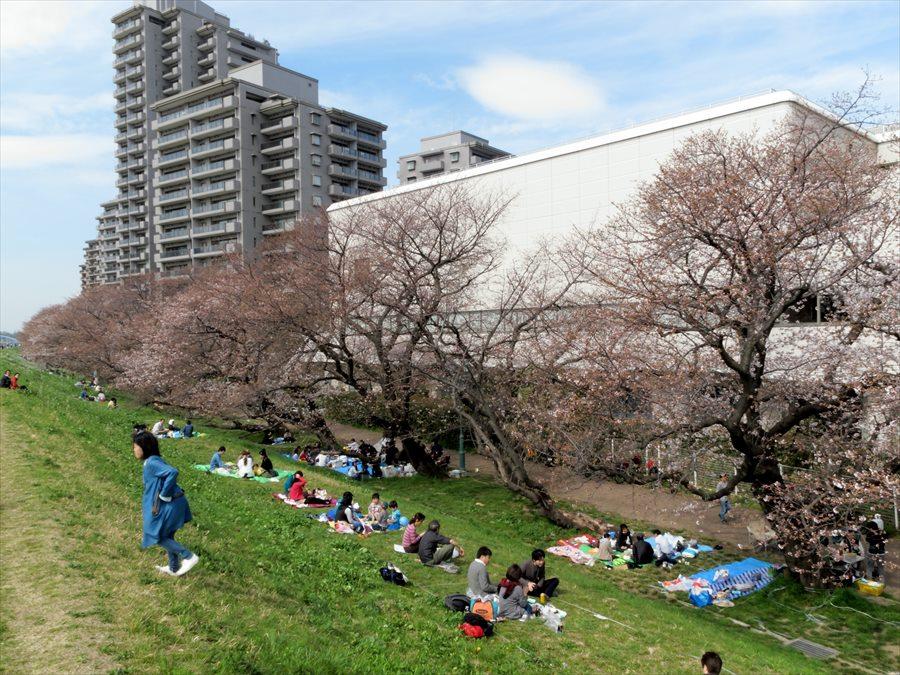 多摩川桜0201