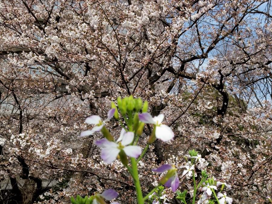 多摩川桜0206