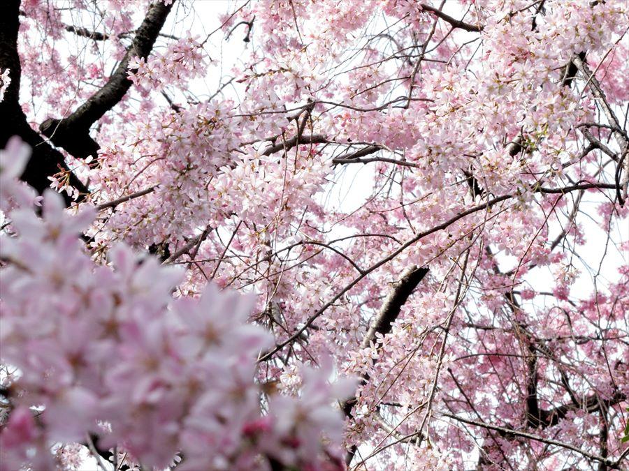 六郷用水桜0102