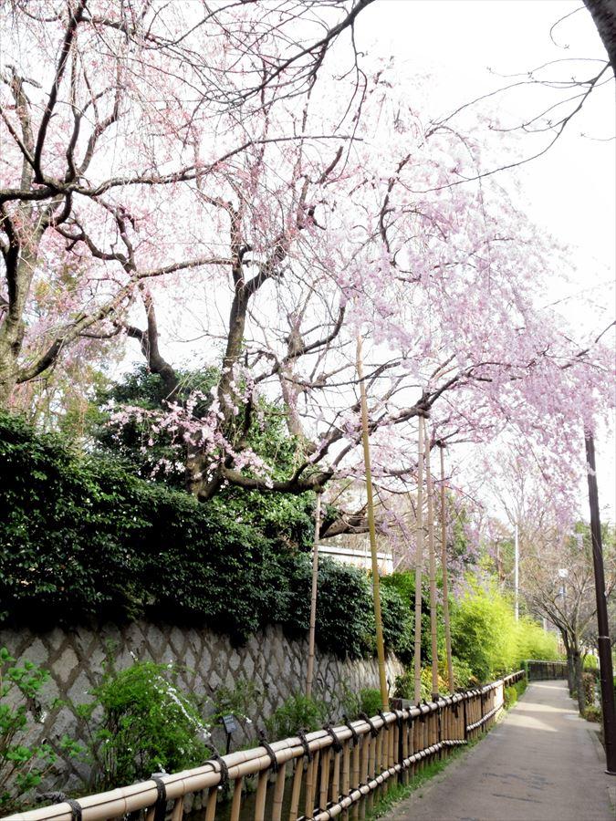 六郷用水桜0101